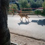 Волк се прошета низ центарот на село Владимирово!?!